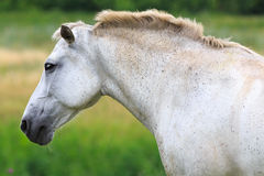 White Horse on  summer pasture. Stock Images