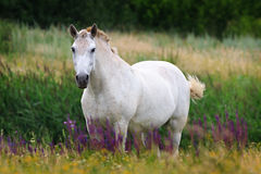 White Horse on  summer pasture. Royalty Free Stock Image