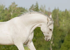 White horse summer portrait Royalty Free Stock Photography