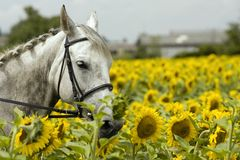 White horse in sunflower field. Romantic Royalty Free Stock Images