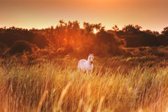 White horse in sunlight, wildlife, Camargue reserve, south France. Beautiful white horse in sunshine - National park of Camargue, Bouches-du-rhone region, south royalty free stock image