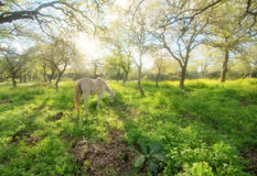 White horse in sunlit meadow. Single white horse grazing in sunlit rural meadow under tree canopy Royalty Free Stock Photography