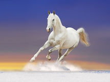 White horse in sunrise royalty free stock images