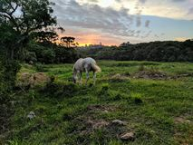 White horse sunset. White horse grazing in a field while the sun sets over the tree tops in southern Paraná Brazil Royalty Free Stock Photos