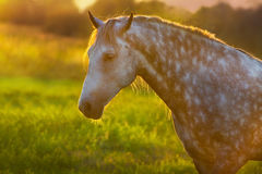 White horse at sunset. Grey horse with long mane portrait at sunset light royalty free stock image