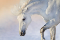 White horse at sunset Stock Photography