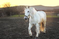 White horse in sunset Royalty Free Stock Photography