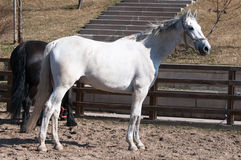 The white horse training Royalty Free Stock Photos