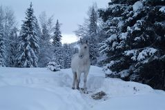 White horse among the trees in the winter Royalty Free Stock Photography
