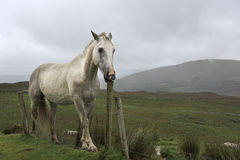 White horse tries to break the fence column. Royalty Free Stock Photography