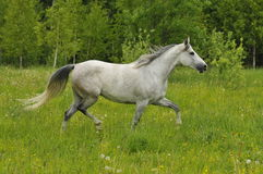 White horse trots on the meadow. The white horse trots on the meadow Royalty Free Stock Photo