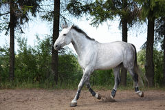 White horse trotting at the field near the trees Royalty Free Stock Photography