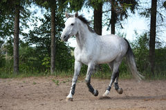 White horse trotting at the field near the trees Stock Photo