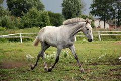 White horse trotting free at flower field Royalty Free Stock Photo