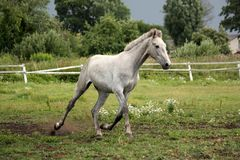 White horse trotting free at flower field Royalty Free Stock Photography