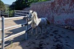 White horse trotting Royalty Free Stock Photo
