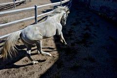 White horse trotting Stock Photos