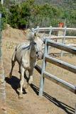 White horse trotting Stock Image