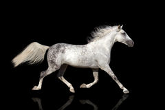 White horse trotting Royalty Free Stock Images