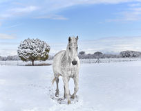 White Horse trotting in Snow Royalty Free Stock Photography