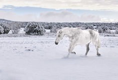 White Horse trotting in Snow Royalty Free Stock Photos