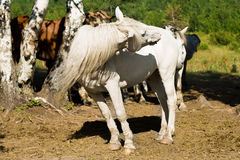 White horse turning head Royalty Free Stock Images