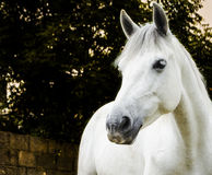 White horse at twilight Royalty Free Stock Images