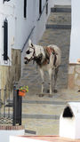 White mule waiting patiently on a steep Spanish street. Stock Image