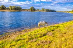 Horse walking on the river shore. White horse walking along the river shore stock photos