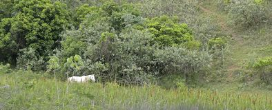 A white horse walking along trail that borders the forest Stock Photos