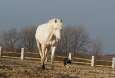 White horse walking with the dog in the paddock Stock Photos