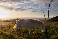 White horse walking on the hill in the sunset Royalty Free Stock Photo