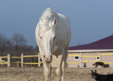 White horse walking in the paddock with dogs Royalty Free Stock Image