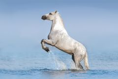 White horse in water. White horse rearing up in blue water with splash Stock Image