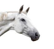 White horse on white background Royalty Free Stock Photography