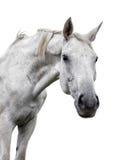 White horse on white background royalty free stock photo