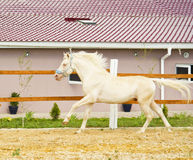 White horse with a white mane run in the paddock. At the background of the house with red roof Stock Images