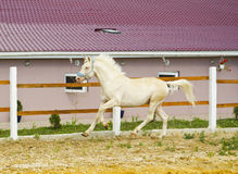 White horse with a white mane runs in the paddock Royalty Free Stock Photography