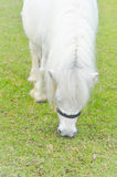 White horse or white pony`s eating some grass on the farm Stock Image