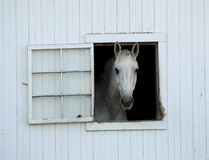 White Horse in a White Stable Window Royalty Free Stock Photos