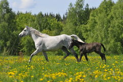 White horse whith foal trots on the meadow. The white horse whith foal trots on the meadow Stock Image