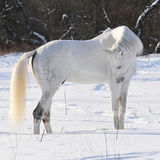 White horse in winter. White Tersk horse in winter Royalty Free Stock Photo