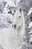 White horse in winter. White horse portrait in winter Royalty Free Stock Images
