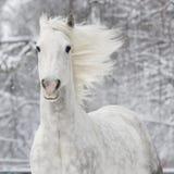 White horse in winter. White horse runs gallop in winter Stock Photo