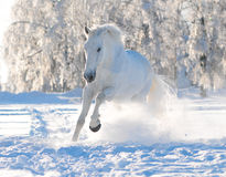 White horse in winter royalty free stock image