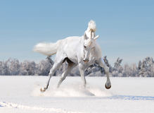 White horse in winter Stock Photo