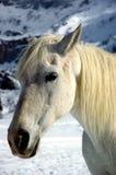White horse winter royalty free stock photo