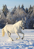 White horse in winter Royalty Free Stock Photo