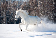 White horse in winter Royalty Free Stock Photos