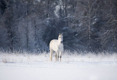 White horse in winter Stock Image